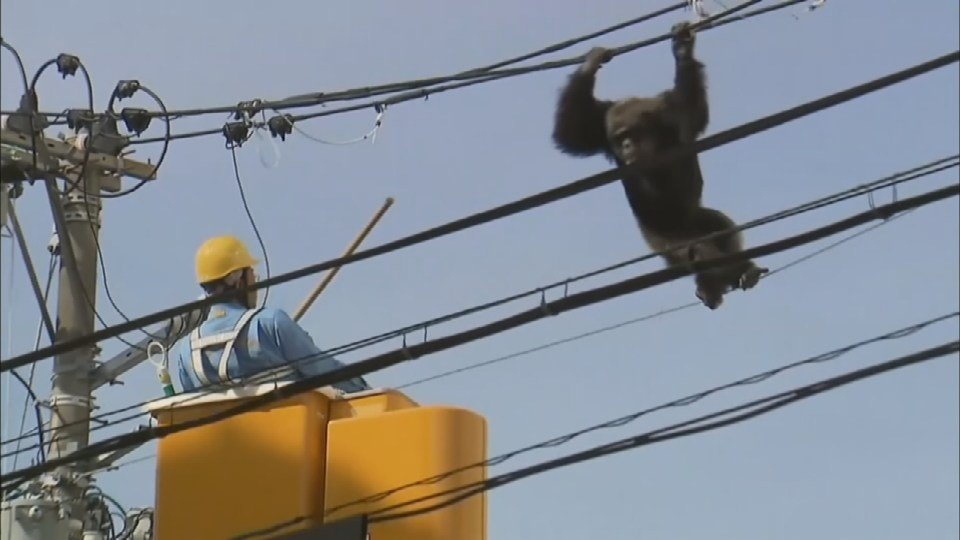 A crew darts the chimp with a sedative