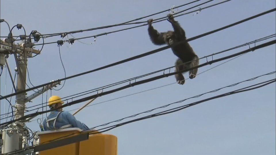 """Cha Cha"" the chimp stayed out of reach for two  hours"