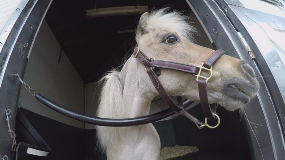 Winston the mini horse that retired from the Ky. Derby Museum died on May 2, 2018.