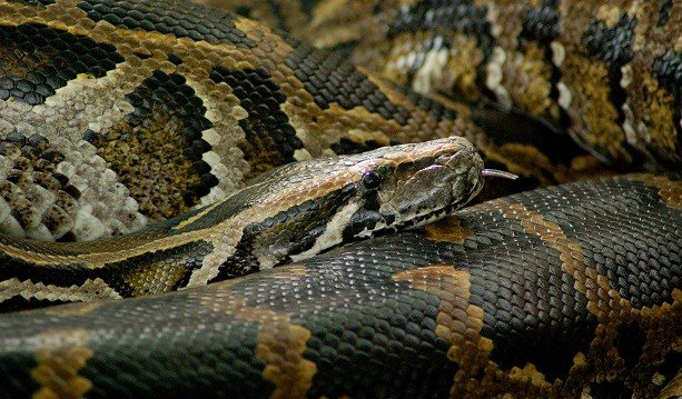 Popular Louisville Zoo Burmese python dies