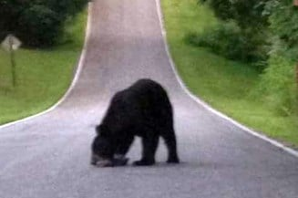 This black bear was spotted in Corydon, Ind., on Hwy. 62 near Gethsemane Road.