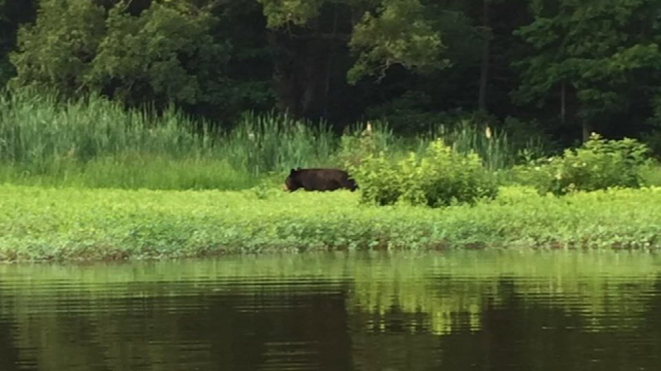 Black bear at Deam Lake (Source: Matt Haub)