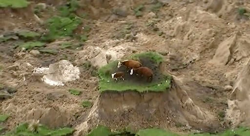 (Newshub via AP). In this image made from video, three cows are stranded on an island of grass in a paddock that had been ripped apart following an earthquake near Kaikoura, New Zealand Monday, Nov. 14, 2016.