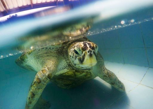 "AP Photo/Sakchai Lalit). In this Friday, March 3, 2017 photo, the female green green turtle nicknamed ""Bank"" swims in a pool at Sea Turtle Conservation Center n Chonburi Province, Thailand."
