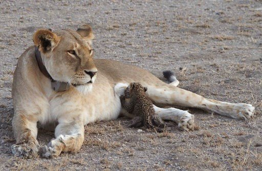 Incredible pictures show lioness nursing leopard cub