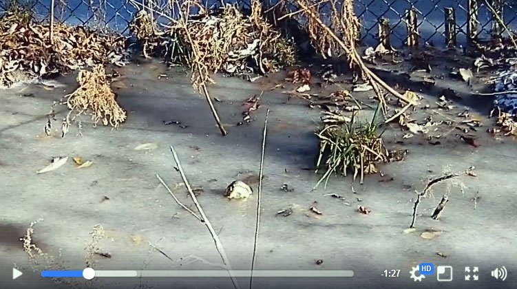 Alligators survive in frozen water by keeping nostrils in the air