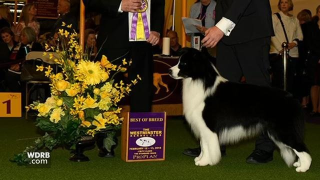 Majestic Elite Clever Endeavor won Best of Breed for border collies.