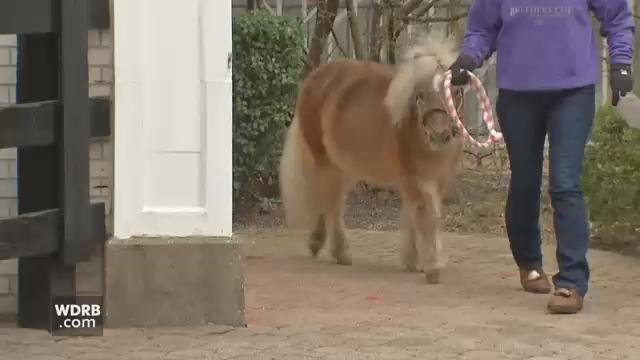 Winston, a thoroughbred miniature companion horse, has been a fixture at Churchill Downs Museum for 22 years. His retirement coincided with Monday's groundbreaking.