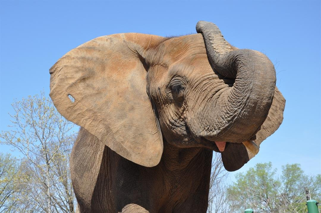 Louisville Zoo's Mikki the African elephant is pregnant with her second calf.