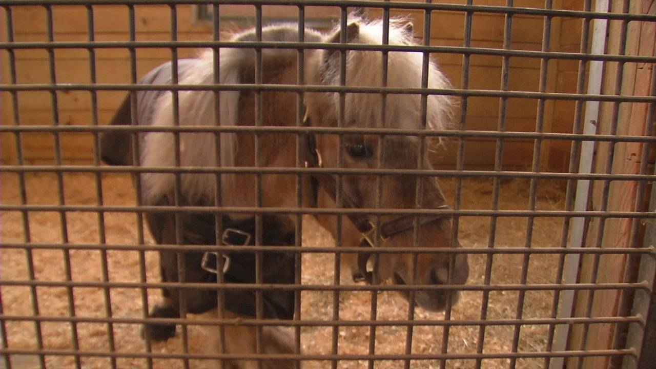 Winston the miniature horse from the Ky. Derby Museum died at the Old Friends Farm Derby week of 2018.