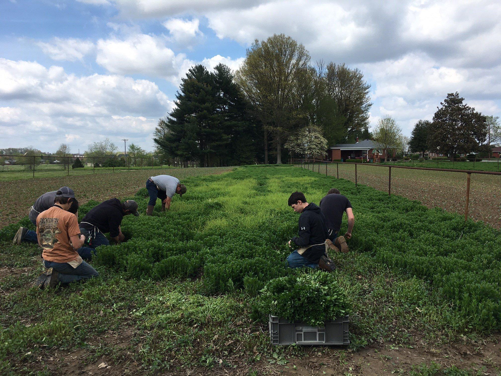 Kids working on the farm cutting mint.