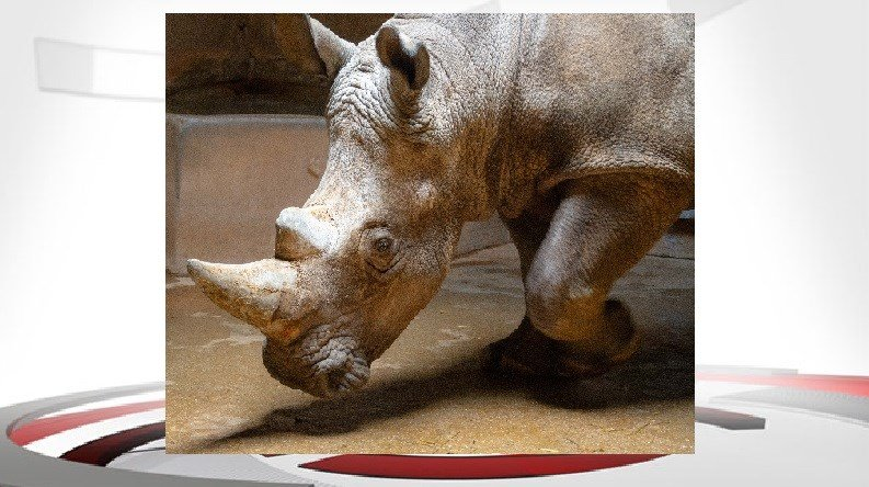 """""""Letterman"""" the 3-year-old white rhino is the newest resident of the Louisville Zoo."""