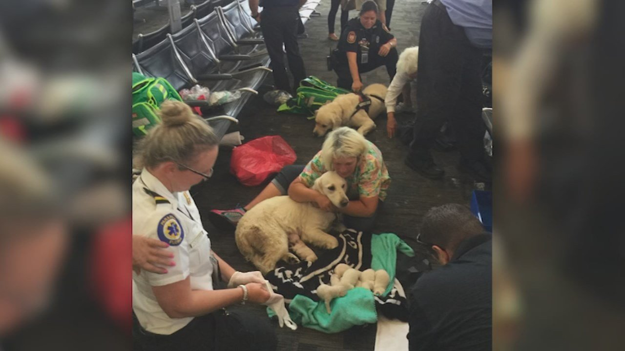 Golden retriever gives birth to eight puppies in airport