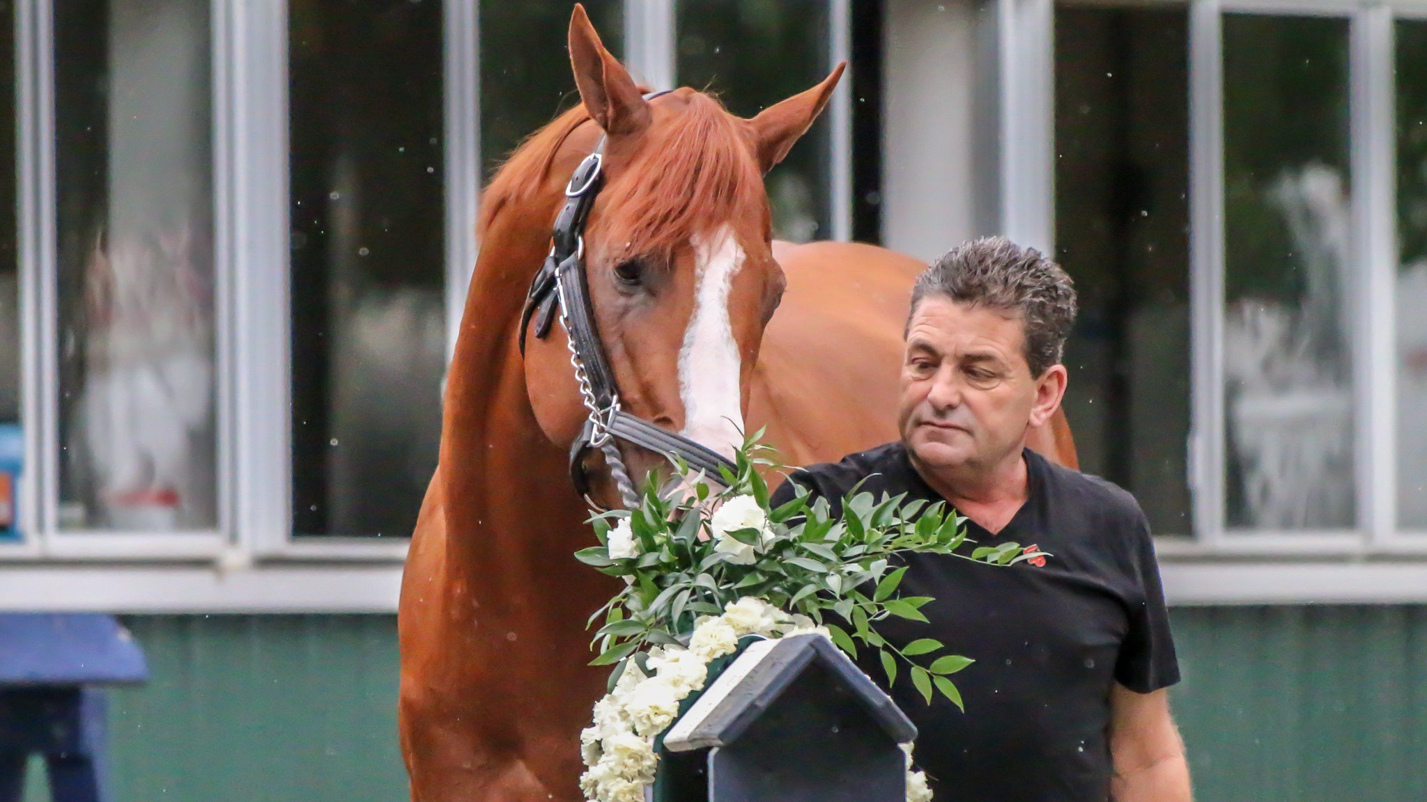 Justify tries to munch on his garland of carnations the morning after the Belmont. (WDRB photo by Eric Crawford)
