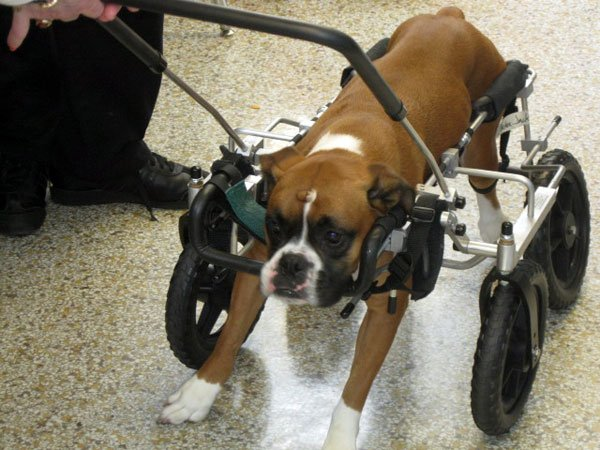 Just over two years after he was abandoned, Cracker Jack, a Boxer, is healthy and walking with the help of his brand new doggie wheel chair.