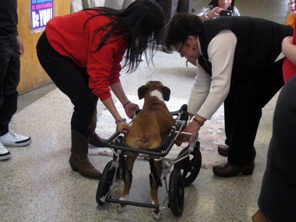 Students at the Phoenix School of Discovery gathered along the hallway anxious to see Cracker Jack once again as the Boxer made his return to the school for the first time since receiving his brand new doggie wheelchair.