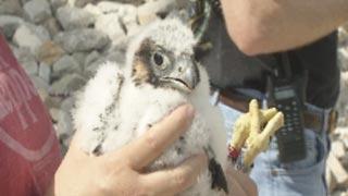 Peregrine falcon retrieved, examined