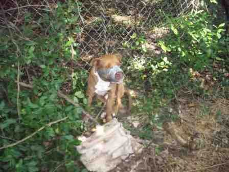 According to a news release, LMAS responded to a call on Tuesday morning involving a dog -- a male pit bull -- tied to a fence with duct tape covering its muzzle in the area of West Kentucky Street, near the corner of 26th St. and Garland St.