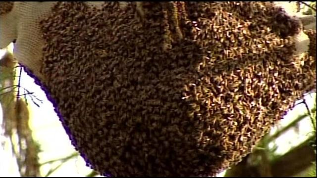 A Louisville man discovered this colony of 30,000 bees under the siding of his home.