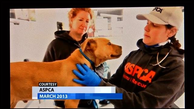 All across the U.S., dozens of pit bulls are being used for dog fighting.