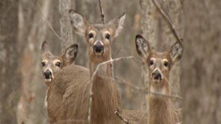 Deer roam Whitetail Bluff deer farm in Corydon, IN