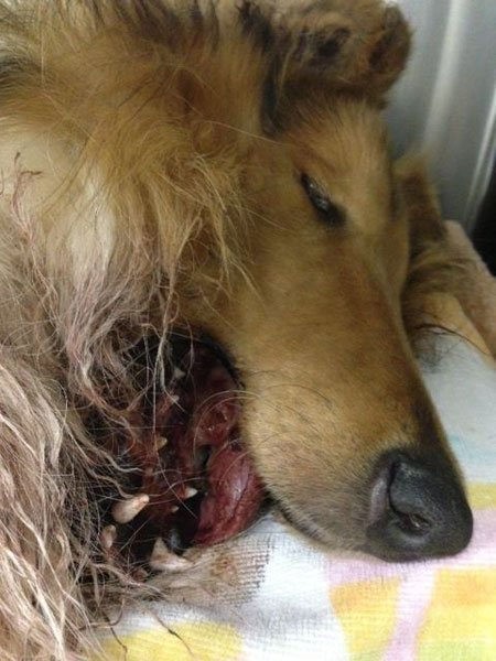 Lad, an 8-month-old collie, was found in Owensboro Sunday after he was shot in the face, displacing his jaw. (Courtesy: The Arrow Fund)