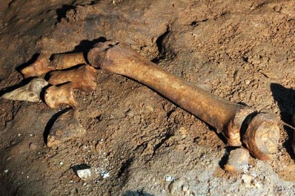 The leg and toe bones of a bison, discovered in the depths of Indiana Caverns.