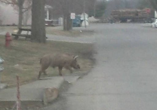 Medora's town marshal says two hogs that ventured into town were shot and killed.