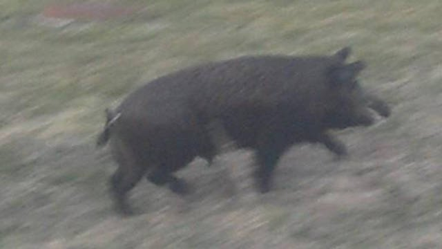 Officials say the hogs are dangerous and residents should keep children and small animals away from them.