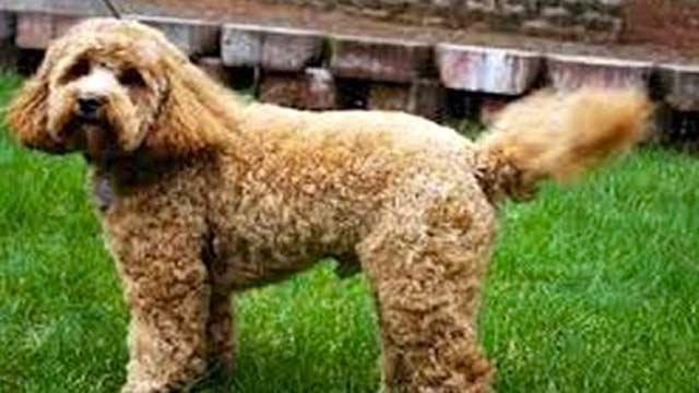 The sire of Derby favorite California Chrome stands for the same fee as the charge to breed to a top Labradoodle.