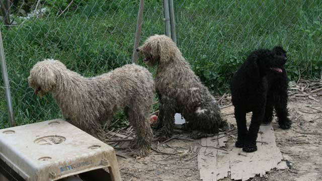 Orange County, Indiana authorities rescued 20 poodles from an abandoned home.