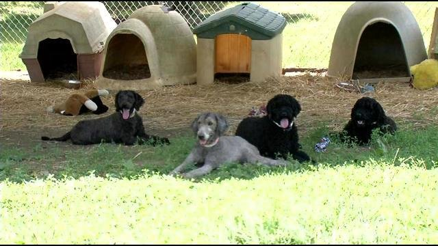 """Two weeks after they were rescued from """"a house of horrors"""", these poodles are affectionate and playful."""