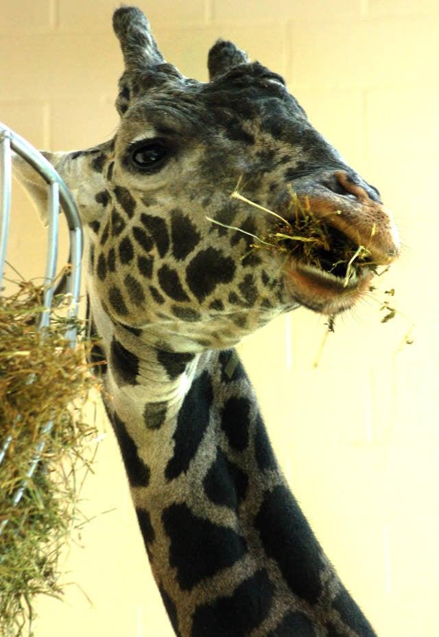 Walker the giraffe (Zoo photo).