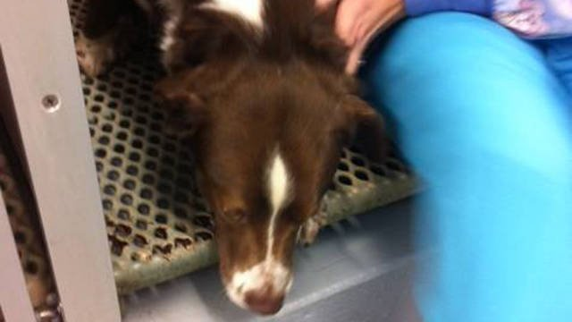 Copper the dog rests after surgery.