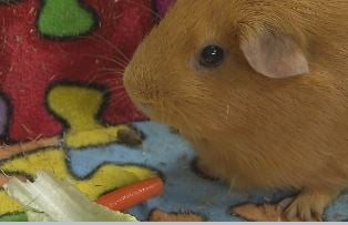 Princess (the guinea pig) is one of several animals in the Discovery Lab at Whitney Young Elementary School (Photo by Toni Konz)