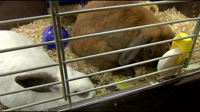 Snowy and Bailey are the school's rabbits.