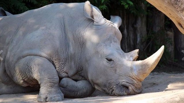 A rhino takes a break during sunnier times at the Louisville Zoo.