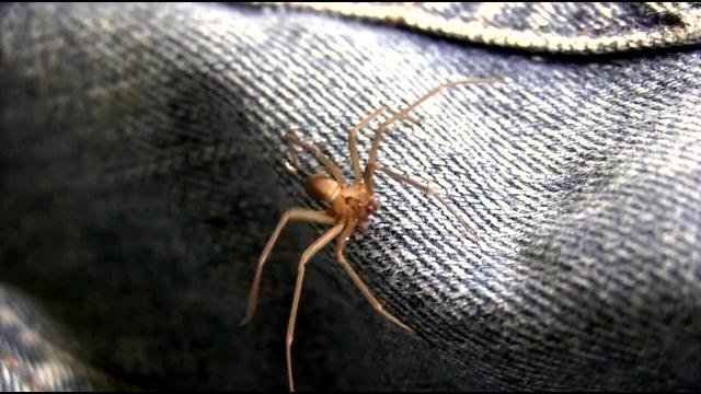 The Brown recluse or 'fiddle back' spider.
