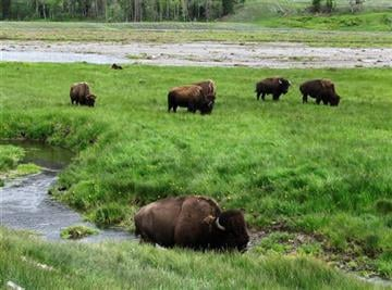 (AP Photo/Robert Graves, File). FILE - In this June 19, 2014, file photo, bison graze near a stream in Yellowstone National Park in Wyoming. For the second time in three weeks, a bison has seriously injured a tourist in Yellowstone National Park.