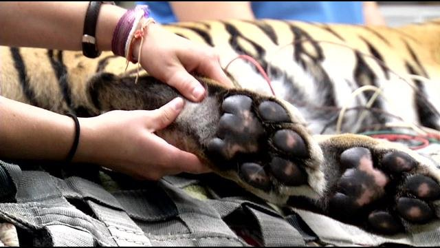Leela's paw print was taken during the health exam. The print will be given to zoo friends and donors.