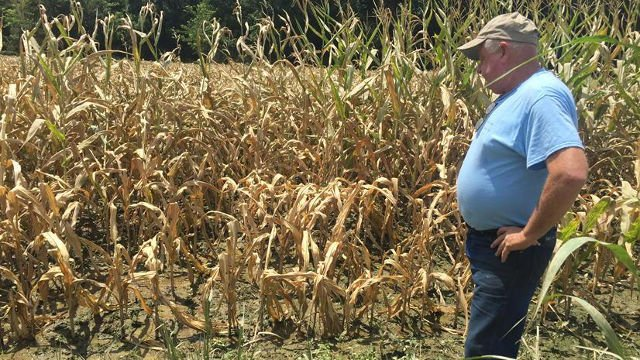 Larry Schenck looks at some of his corn, which suffered under excessive summer rainfall in June 2015.