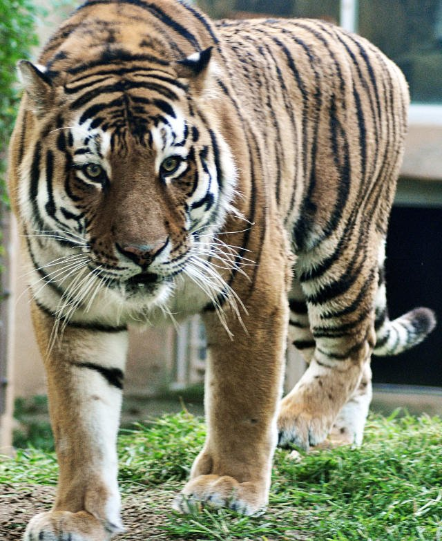 Vikentii (Courtesy: Louisville Zoo)