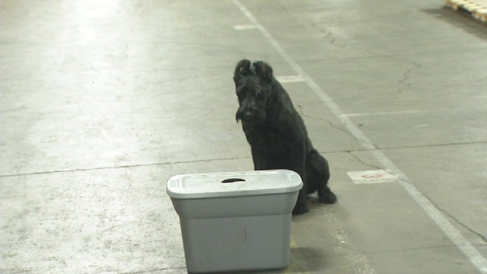 One-year-old Denver, a giant Schnauzer, can detect the scent of drugs in a matter of seconds.