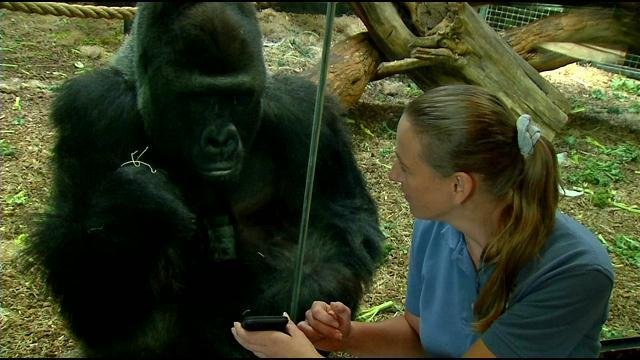 Jelani lives in the Zoo's widely popular Gorilla Forest exhibit withwith three other teen maleswho love to clown around.