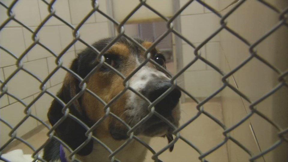 A dog waits to be adopted from the New Albany-Floyd County Animal Shelter