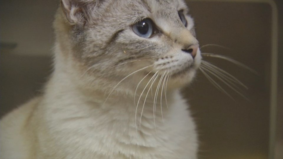 A cat waits to be adopted from the New Albany-Floyd County Animal Shelter