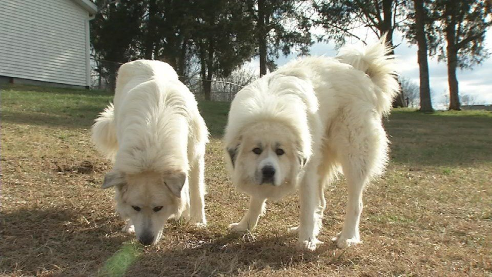 The family has two other Great Pyrenees.