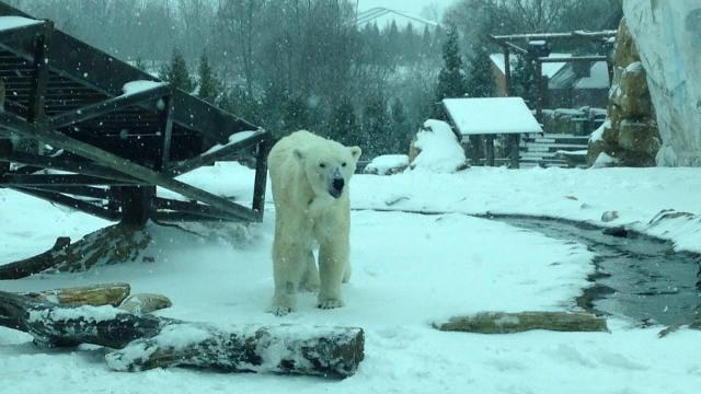 Qannik in the snow Friday, Jan. 22, 2016. (Courtesy: Louisville Zoo)
