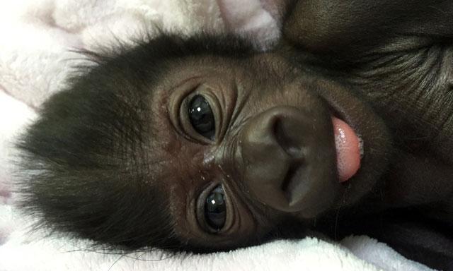 slideshow  louisville zoo names baby gorilla