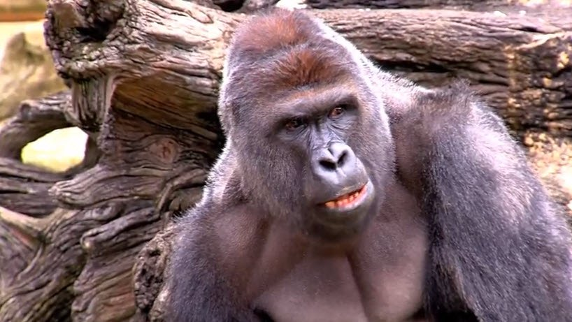 Peta Responds To Gorilla Shooting At Cincinnati Zoo Wdrb